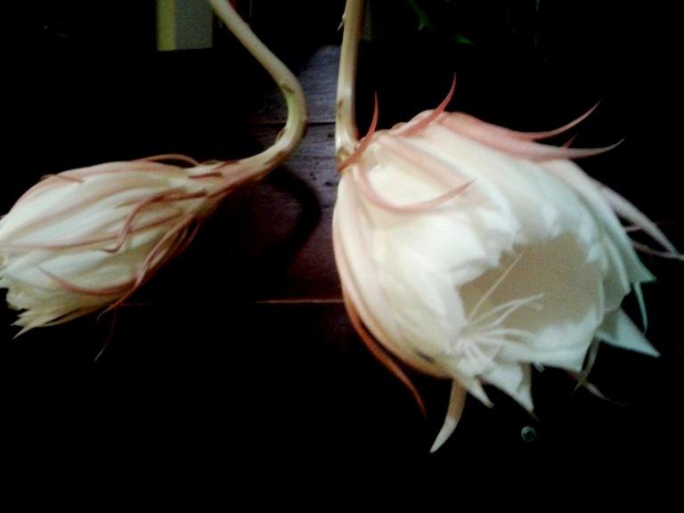 Epiphyllum-Oxypetalum-3
