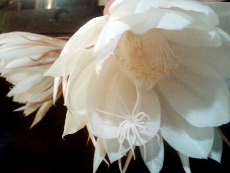 Epiphyllum-Oxypetalum-6