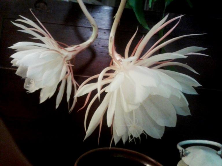 Epiphyllum-Oxypetalum-9a