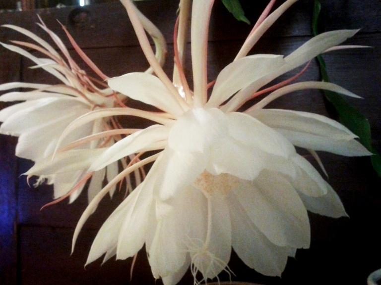 Epiphyllum-Oxypetalum-9c