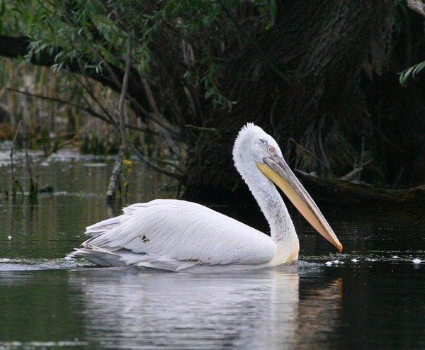 pelicanul-cret-aeagecy