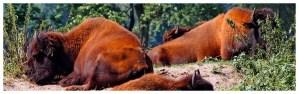 Pałac w Kurozwękach – czyli wyprawa z bizonami w tle, bizony leżą na trawie