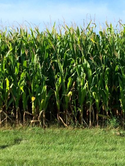 Corn field, Mama ía