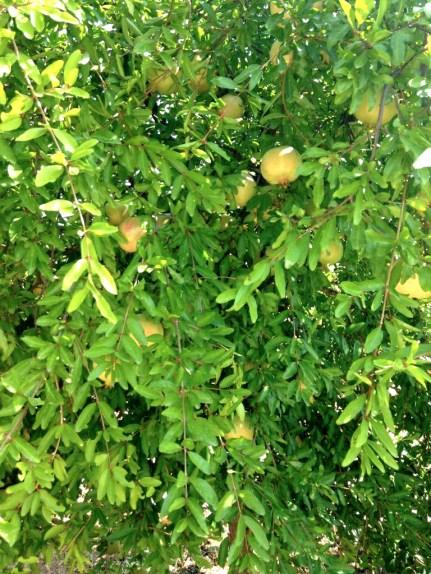 Granadas del Taron, pomegranates, Mama ía blog