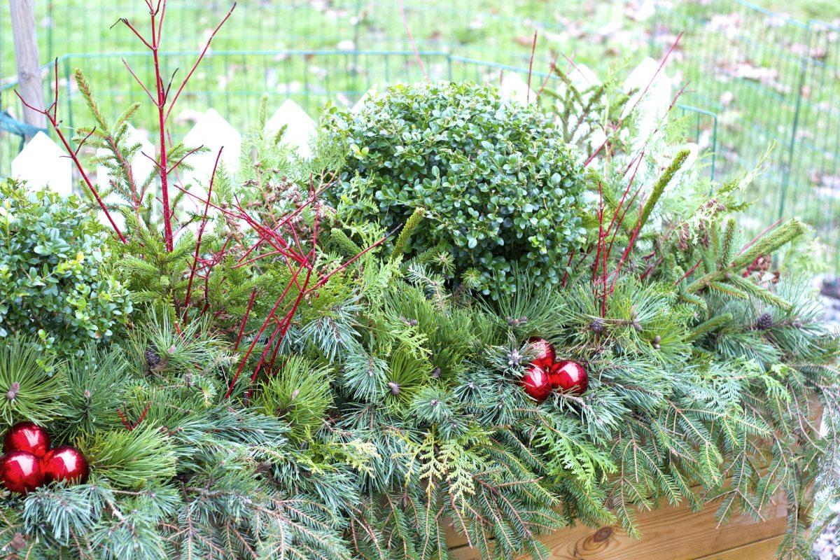 natalia lindberg trädgårdsdesign buxbom klot vinter