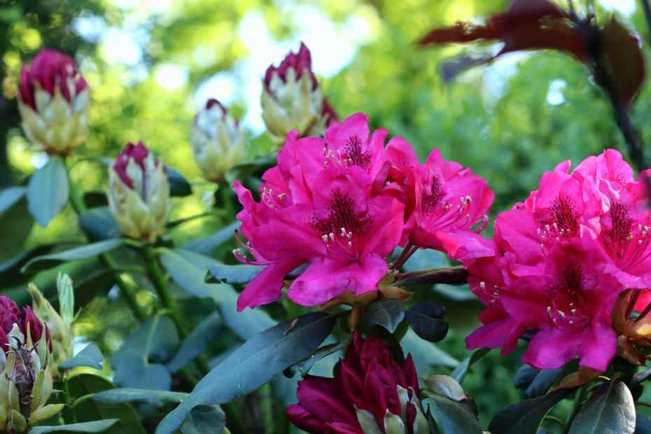 Rhododendron 'Midnight Beauty'