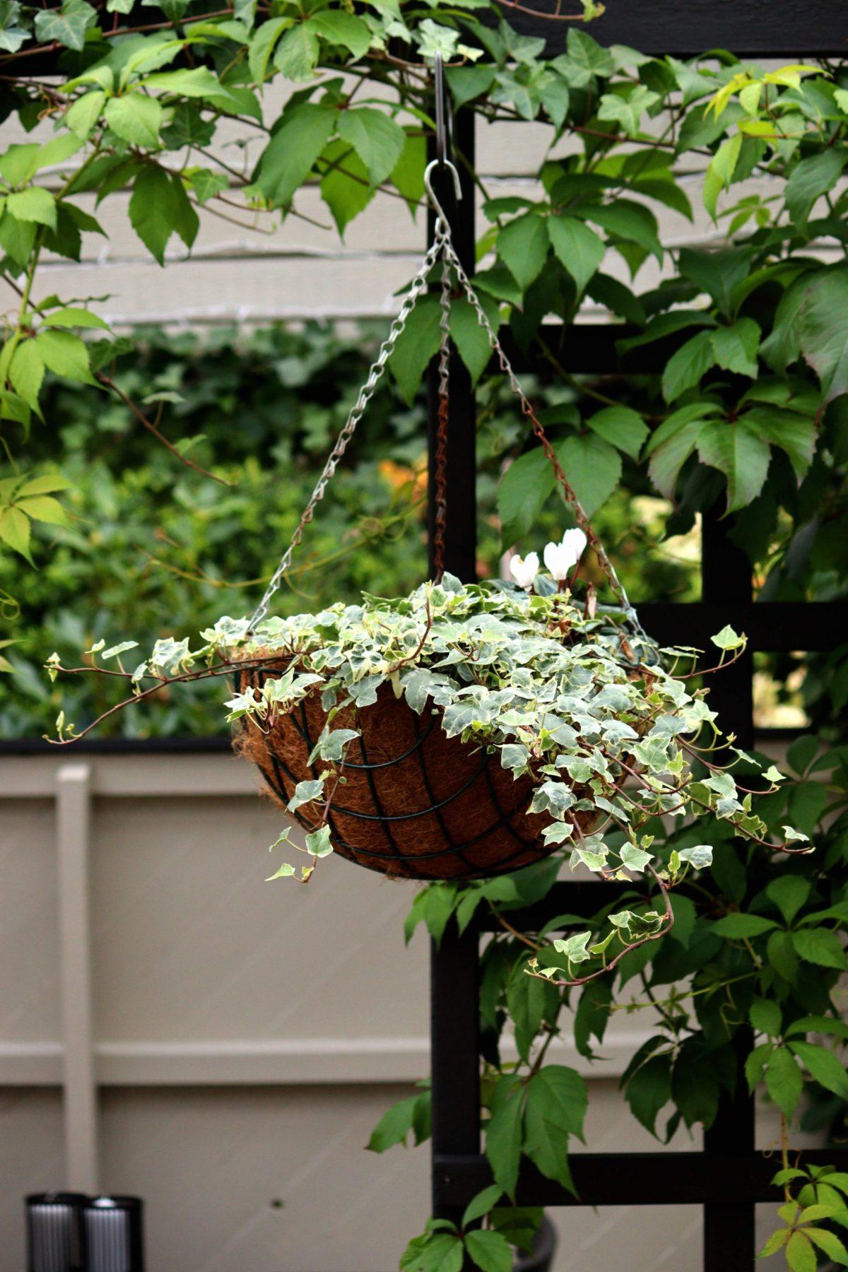 Natalia Lindberg trädgårdsdesign - liten trädgård bollkryss höstfärg murgröna hängampel