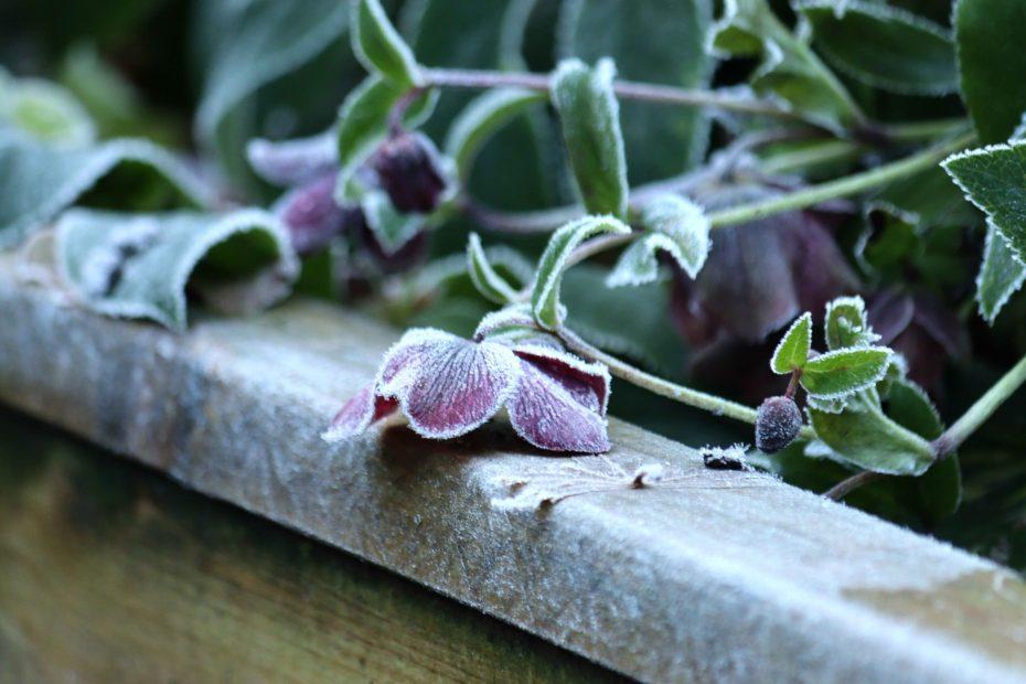 Natalia Lindberg trädgårddesign - julros viv victoria frost