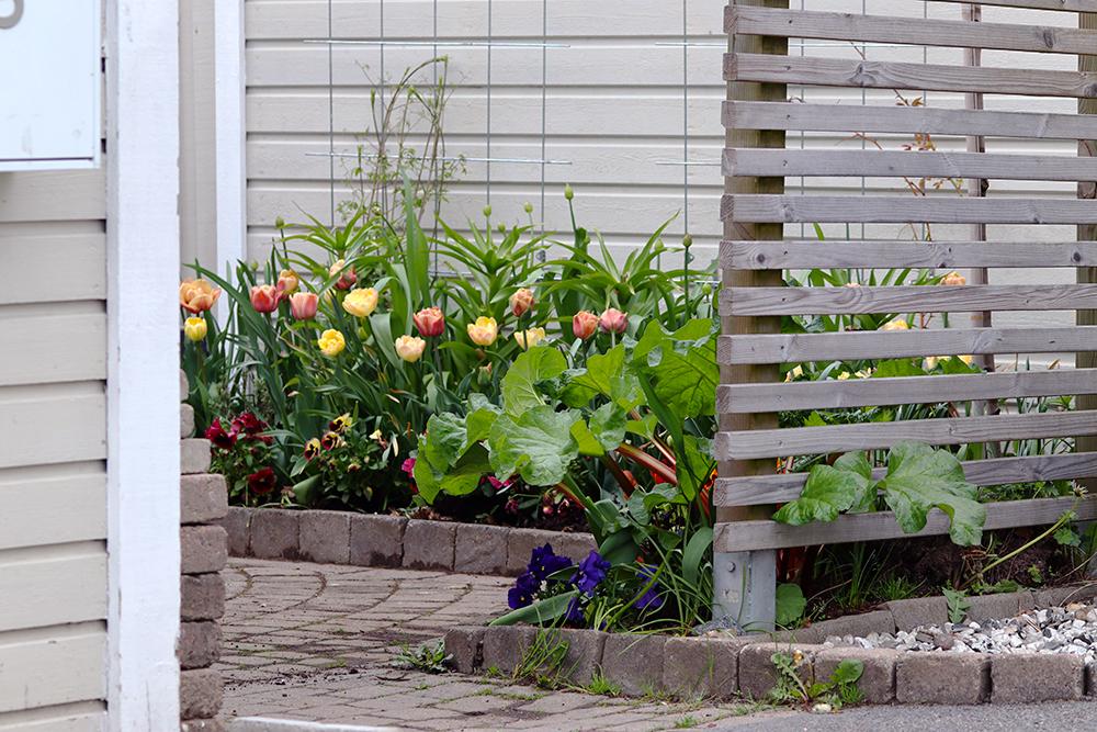 Tulip Tulpan 'La Belle Epoque' och Tulpan 'Creme Upstar' - Natalia Lindberg trädgårdsdesign