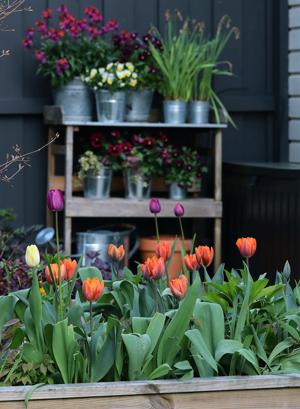tulpaner orange lila - Natalia lindberg trädgårdsdesign