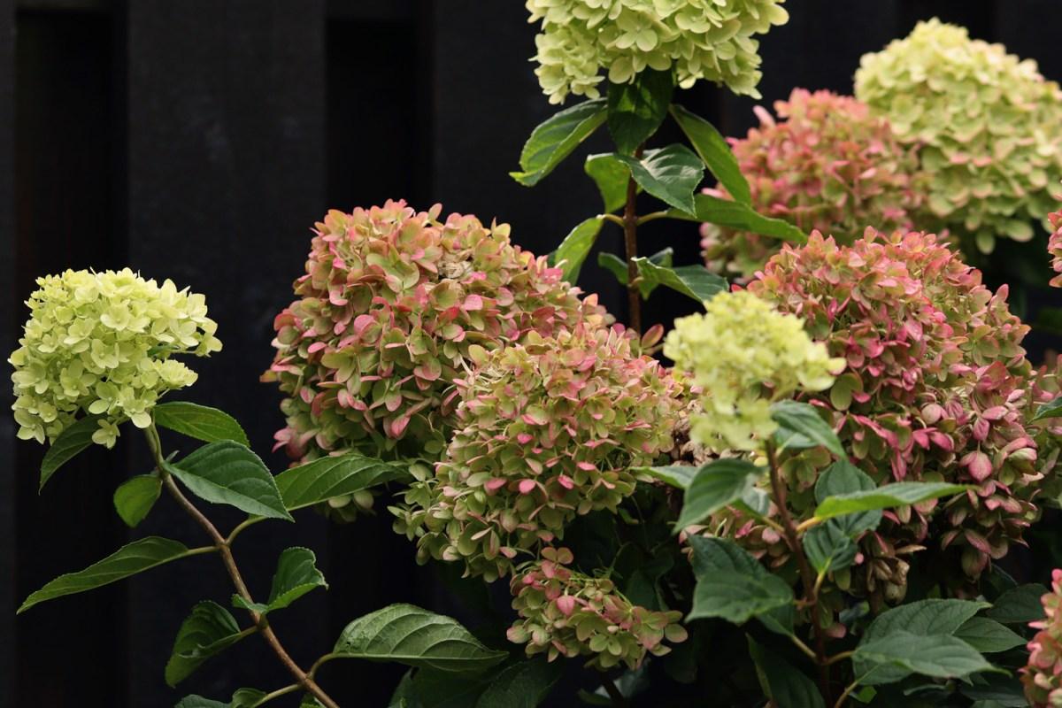 Hydrangea little lime hortensia  - Natalia Lindberg trädgårdsdesign