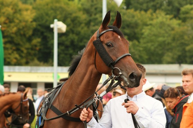 Racehorse in the paddock before a race