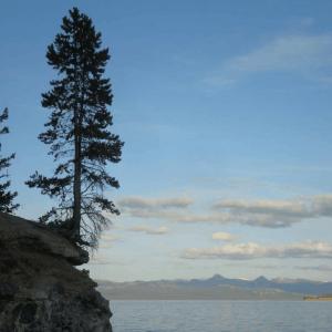 Tree in the Bluff Yellowstone Lake