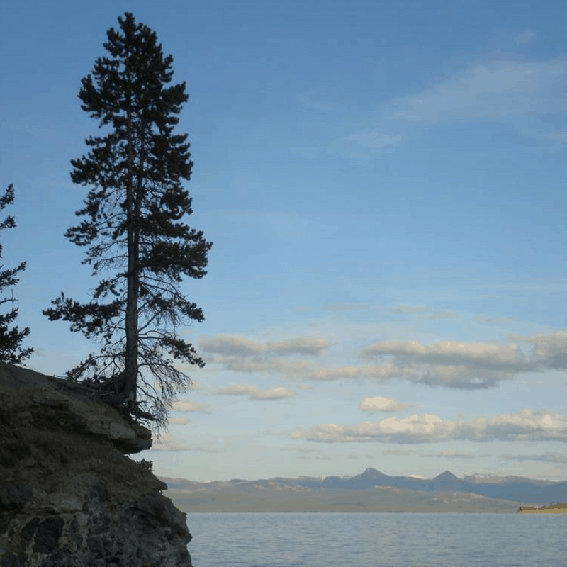 Tree in the Bluff Yellowstone Lake