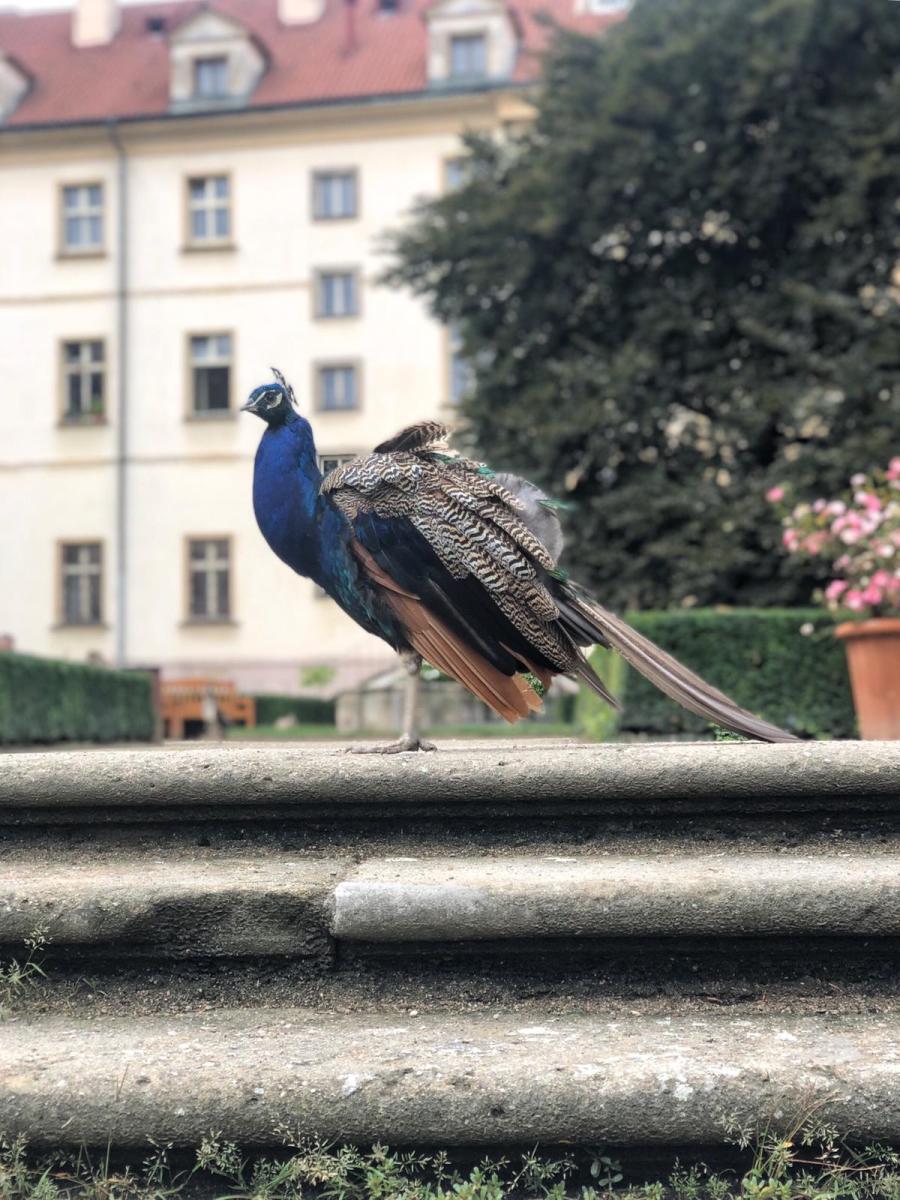 6 cose sorprendenti di Praga pavoni