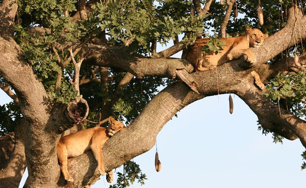 Kidepo Valley Tree Lions