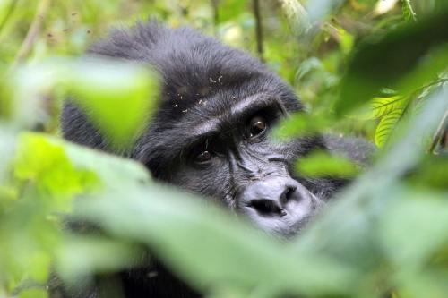 5 Day Bwindi Gorilla Trekking in Uganda