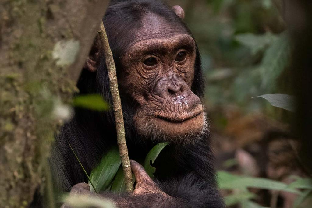 What to carry for chimpanzee tracking