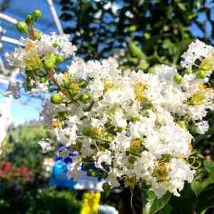 white crape myrtle flowers