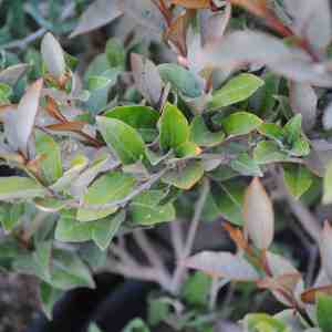 Silverberry Leaves