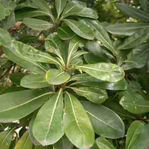 Pittosporum Plant Leaves