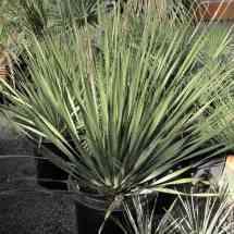 Desert Spoon Drought tolerant xeriscaping native