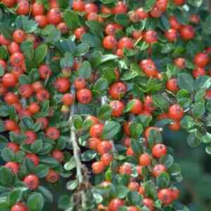 cotoneaster horizontalis red berries