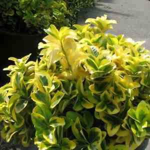 Euonymus_japonica_Aureo_Marginata_0zz