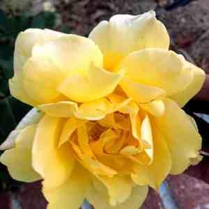 Cream Yellow Rose