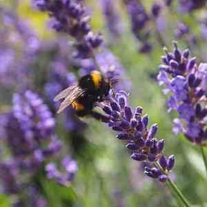 bee on Lavender plant pollinator flower