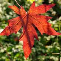 fall sweet gum leaves color