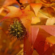 Sweet Gum leaves and seeds