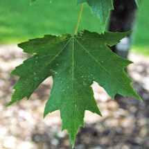 Freeman's Maple Leaf