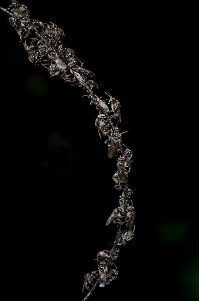 當雌蜂為了搶奪蜂巢而開戰,雄蜂會停在枝葉上,可能正等著與逃出的蜂后交配。攝影:TOBIAS SMITH