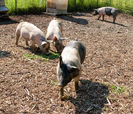 Hiram Farm Pigs