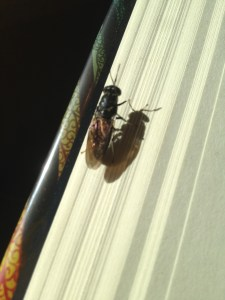 This is a fly that landed on my book and sat there for a good three or four minutes, rubbing its legs together. Finally I shooed it. Yes, my week was that slow.