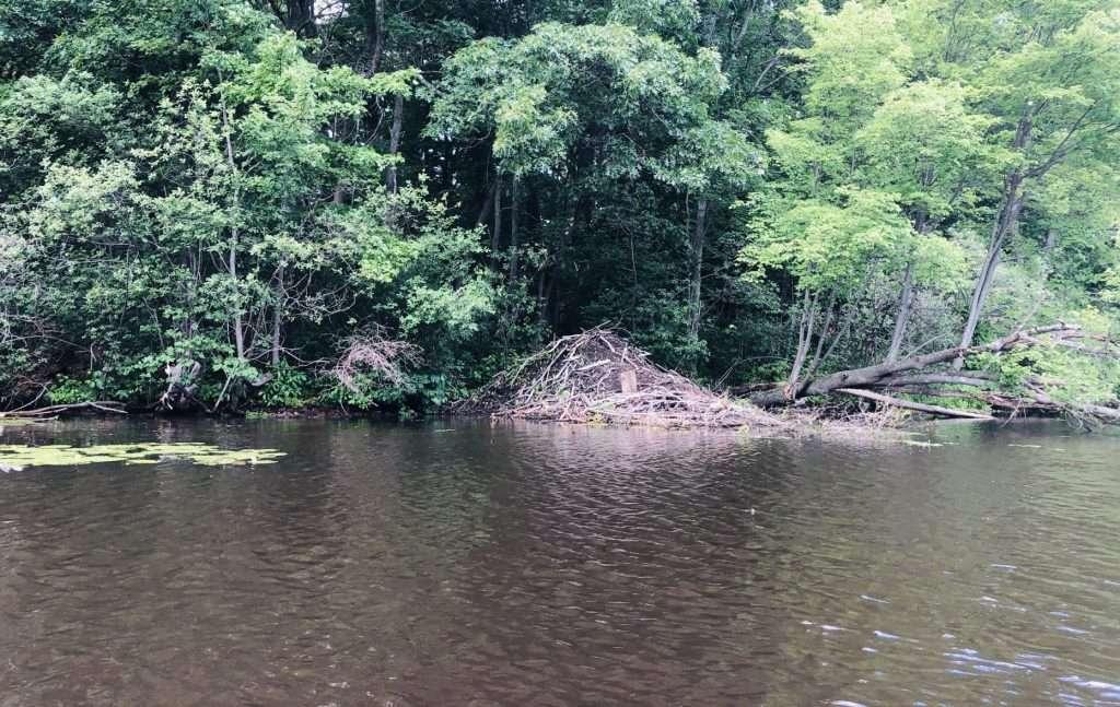fisk beaver dam