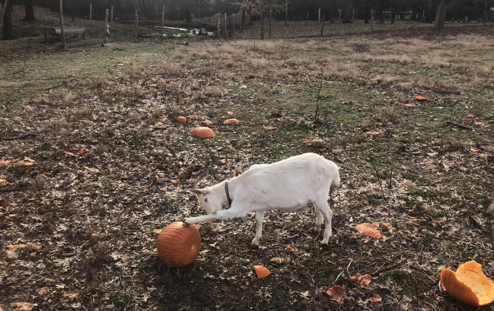 goat pumpkin natick community organic farm
