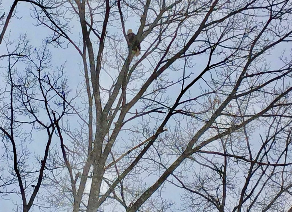 Natick bald eagle