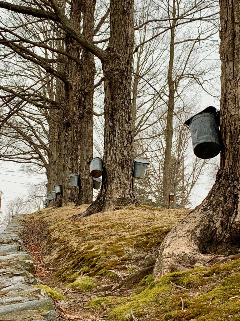 Natick, maple tree tapping