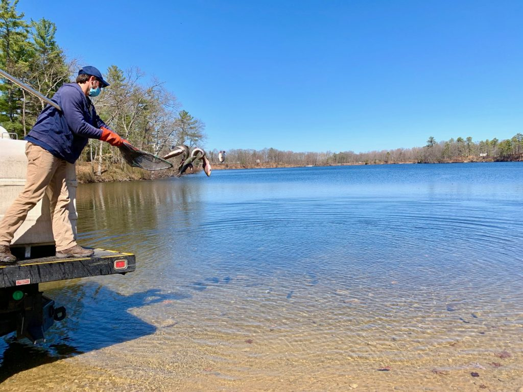 Trout stocking, Dug Pond, Natick