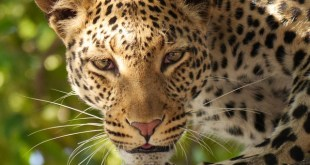 leopard-panther , national animal of Somalia