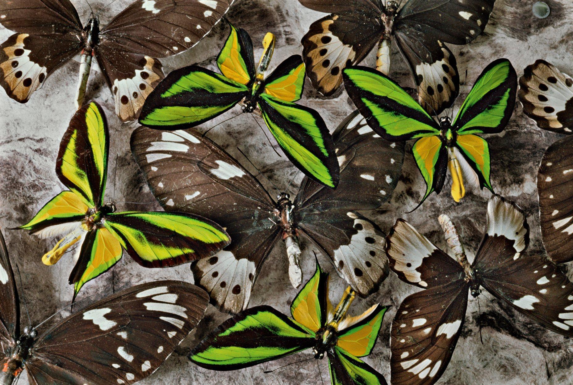 Mariposas alas de pájaro en Papúa y Nueva Guinea