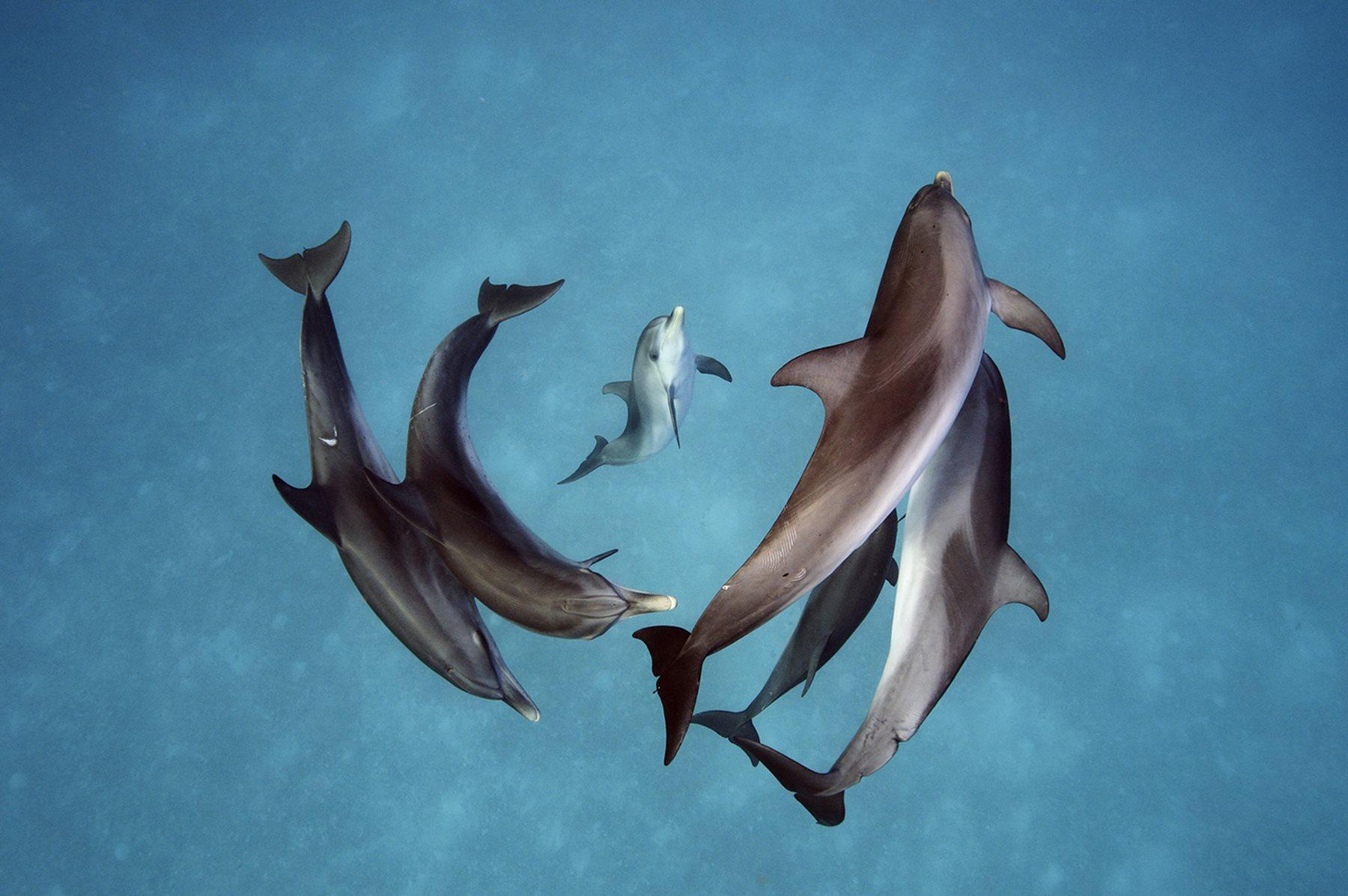 Un grupo de delfines oceánicos nada frente a las islas del norte de las Bahamas