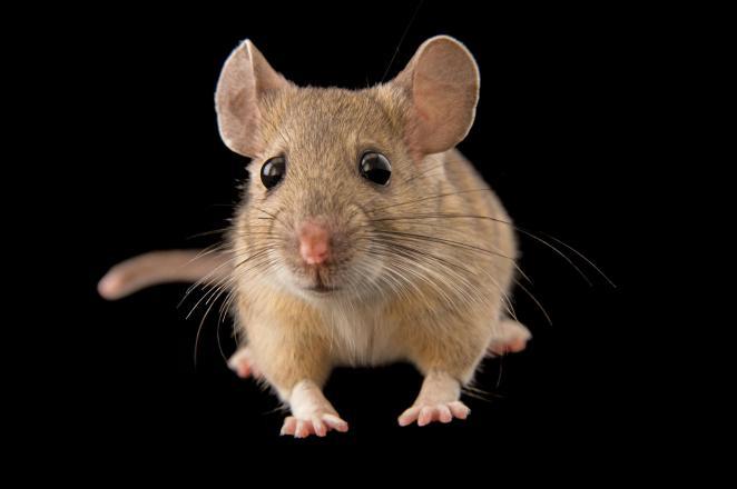 Rata cambalachera de garganta blanca