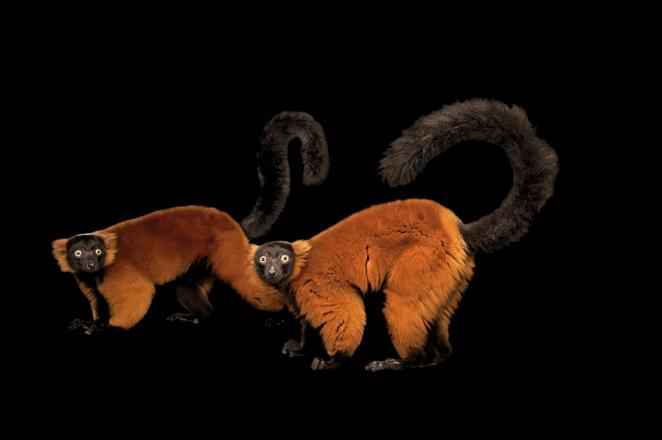 Lémur rufo rojo