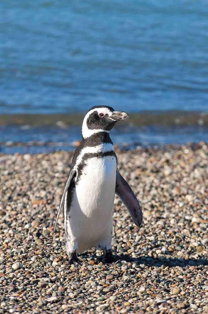 GettyImages-152545728. Pingüino de magallanes o patagónico