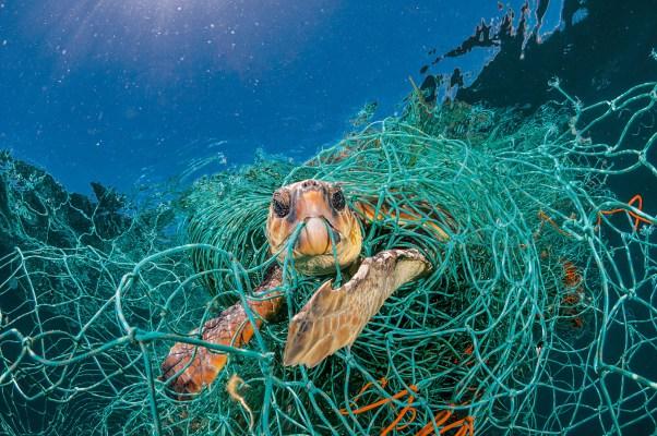 Resultado de imagen de Tortuga atrapada en redes plásticas en las islas Canarias, Jordi Chias
