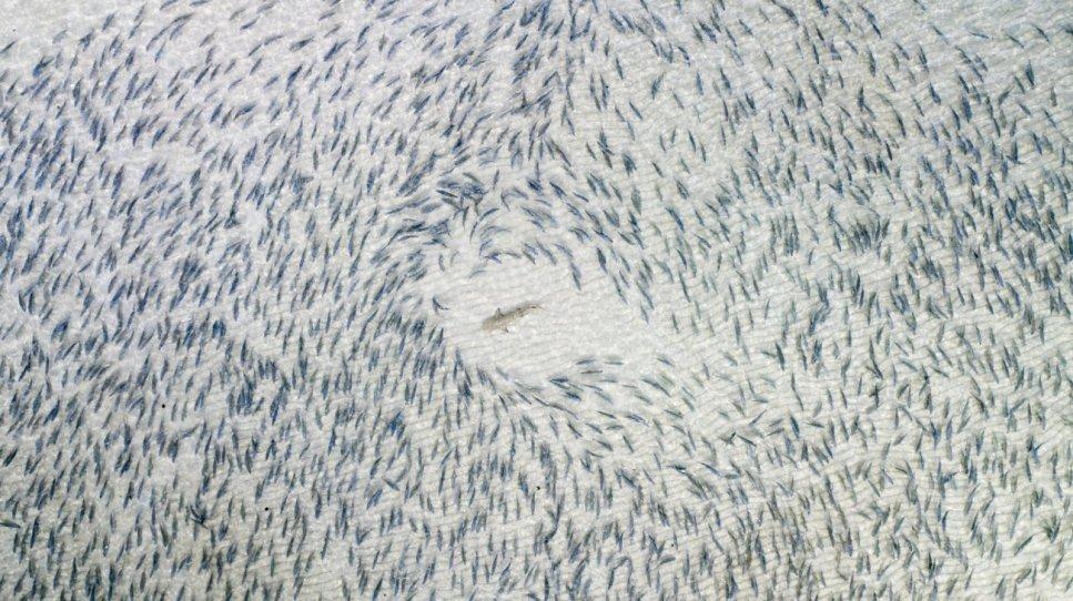 Blacktip Shark . Blacktip Shark (Tiburón de Punta Negra)