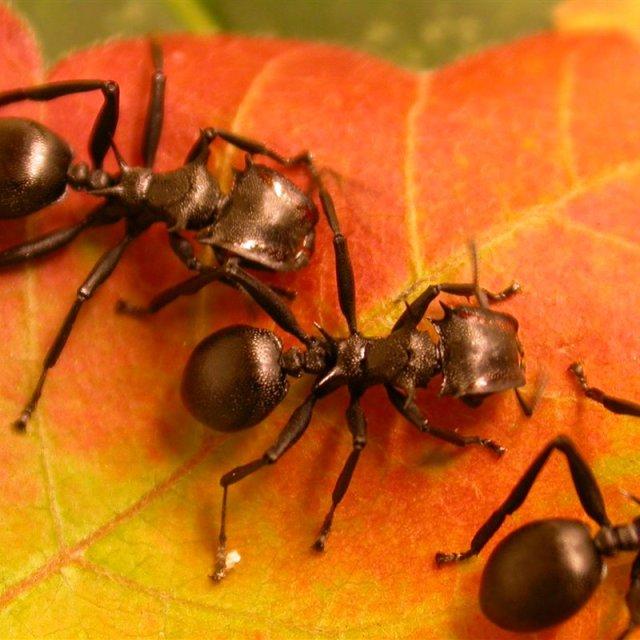 Como las plantas convirtieron a las hormigas en sus esclavas